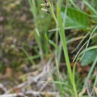 Variegated Sege (Carex stylosa)