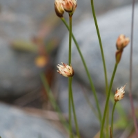 Three-flowered Rush (Juncus triglumis)