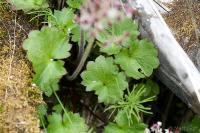 Heart-leaf Saxifrage (Saxifraga nelsoniana)
