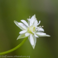 Starwort (Stellaria sp)