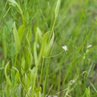 Saltmarsh Starwort (Stellaria humifusa)
