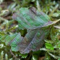 Slug-eaten Alder Leaf