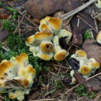 Toasted Marshmallow Fungus