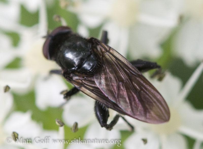 Black Syrphid (Cynorhinella bella)