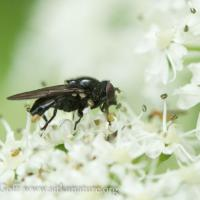 Black Flower Fly (Syrphidae)