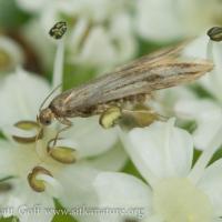 Moth (Schreckensteinia sp)