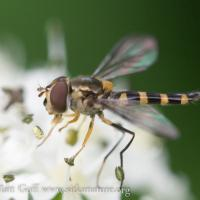 Striped Flower Fly (Syrphidae)