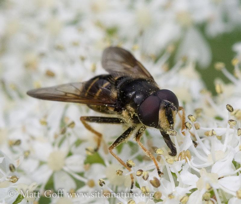 Flower Fly (Sericomyia sp) on Cow Parsnip