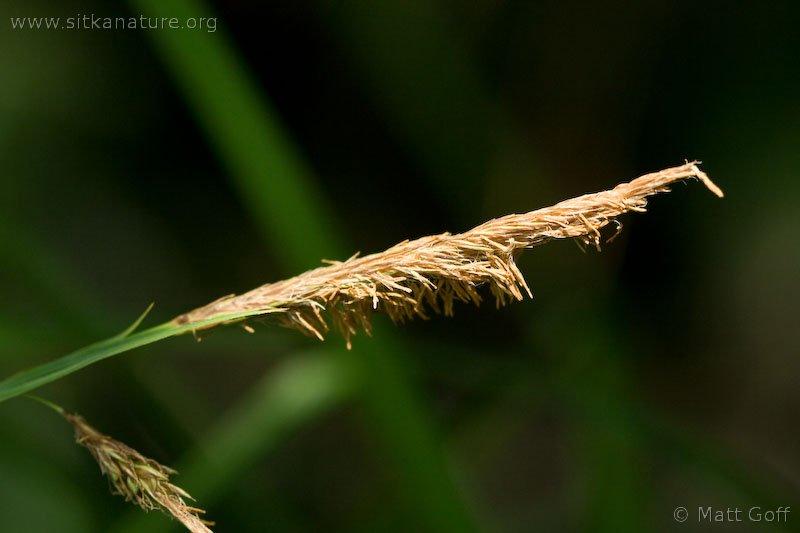 Lyngbye's Sedge  (Carex lyngbyei)