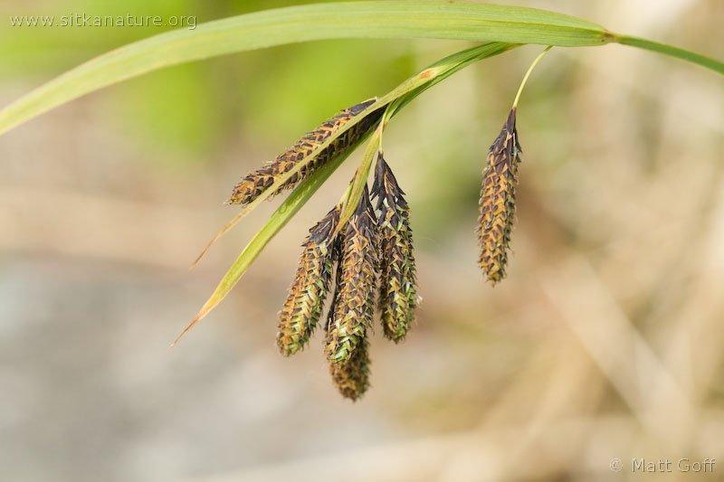 Mertens' Sedge (Carex mertensii)