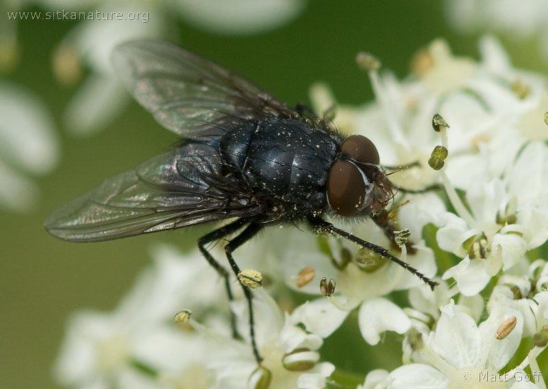 Fly (Diptera sp)