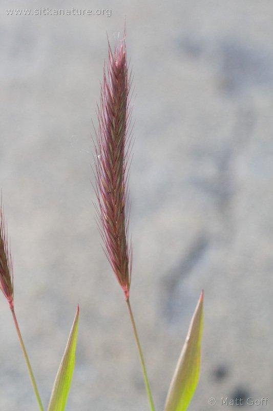 Meadow Barley (Hordeum brachyantherum)