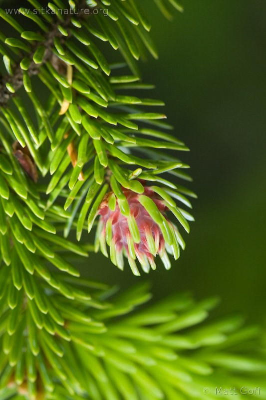 Sitka Spruce (Picea sitchensis)