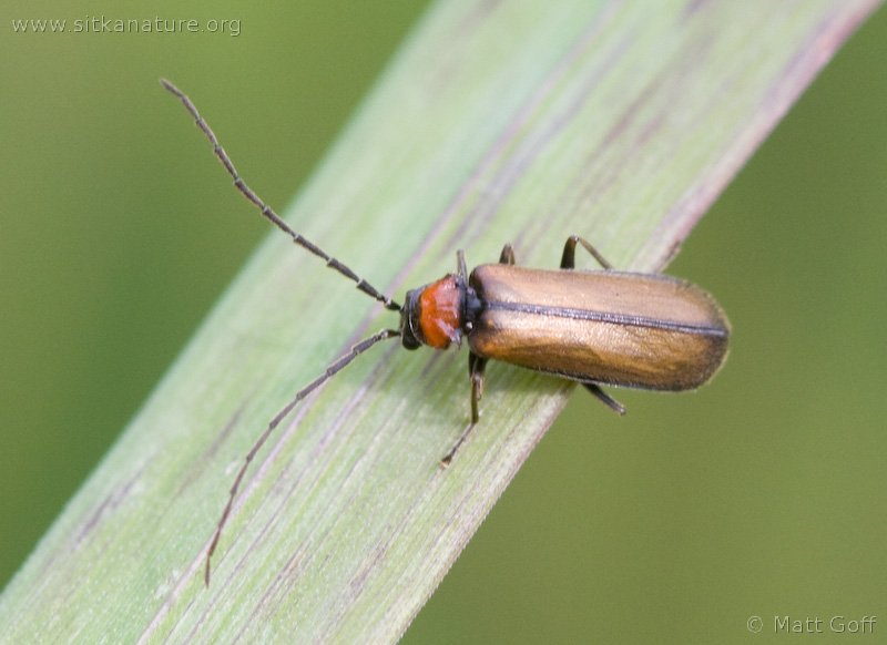 Soldier Beetle (Silis sp)