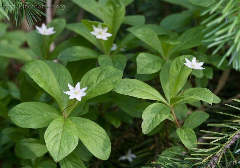 Northern Star-flower (Trientalis europaea)