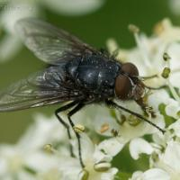 Fly (Diptera sp)