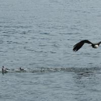 Common Mergansers under Threat by Bald Eagle