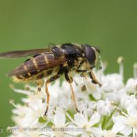 Flower Fly (Sericomyia sp) on Cow Parsnip