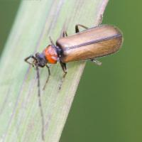 Soldier Beetle (Silis sp)
