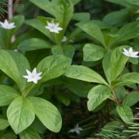 Northern Star-flower (Trientalis europaea)