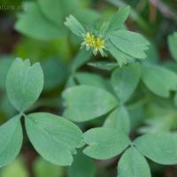 Sibbaldia (Sibbaldia procumbens)