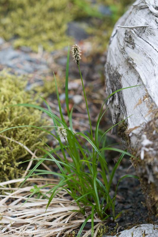 Northern Single-spike Sedge (Carex scirpoidea)