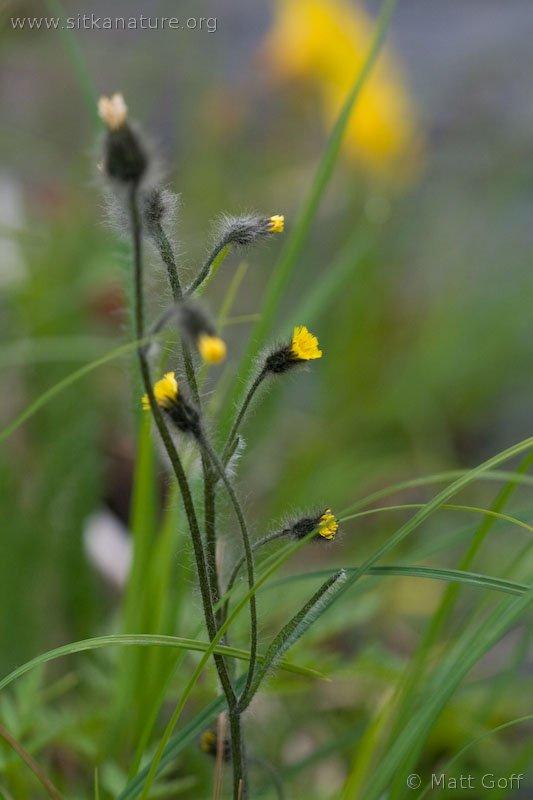 Wooly Hawkweed (Hieracium triste)