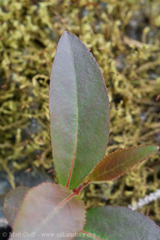 Cottonwood Seedling