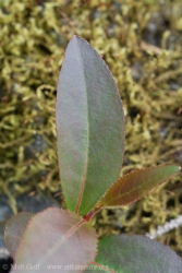 Cottonwood Seedling