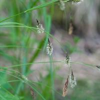 Long-awned Sedge (Carex macrochaeta)