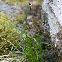 Northern Single-spike Sedge (Carex scirpoidea)