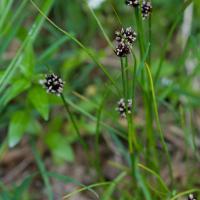 Mertens\' Rush (Juncus mertensianus)
