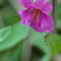 Pink Monkey Flower (Mimulus lewisii)