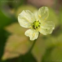 Alpine Poppy (Papaver radicatum)