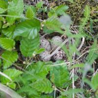 Spotted Sandpiper Nest