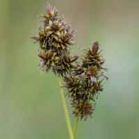 Sedge (Carex sp)