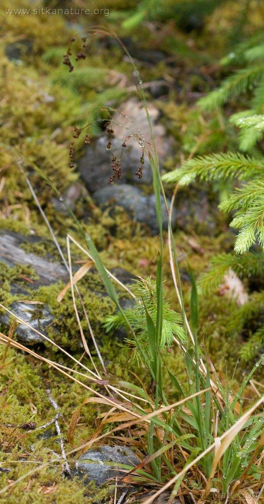Small-flowered Woodrush (Luzula parviflora)