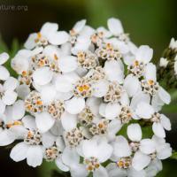 Yarrow (Achillea millefolium) flowers