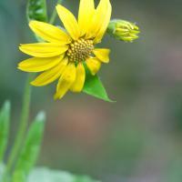 Clasping Arnica (Arnica lanceolata prima)