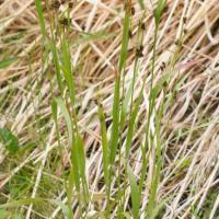 Common Woodrush (Luzula multiflora)