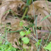 Downy Oatgrass (Trisetum spicatum)