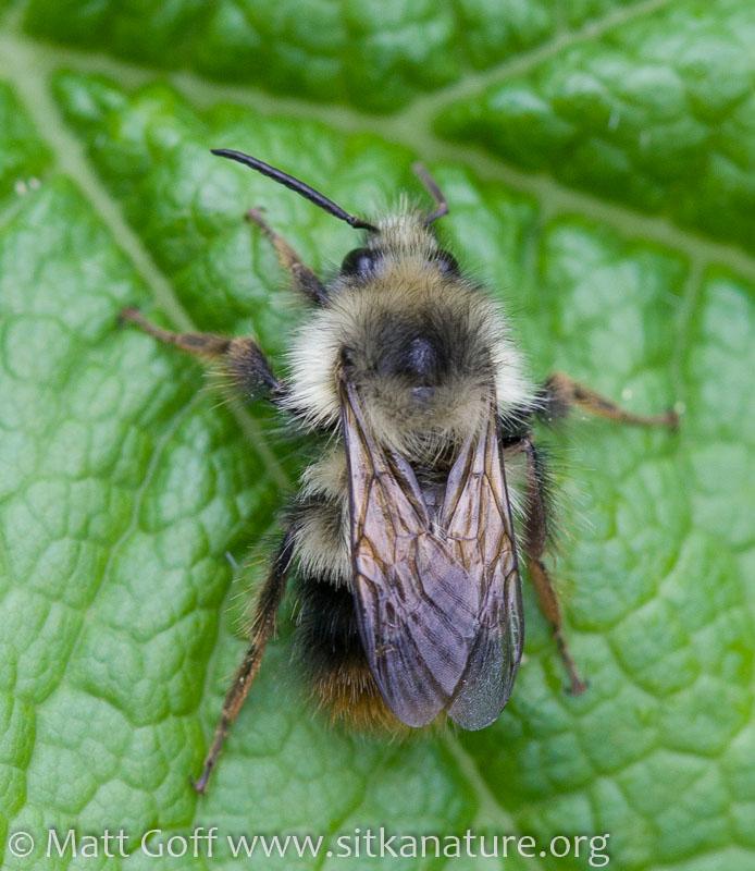 Fuzzy-horned Bumblebee (Bombus mixtus)