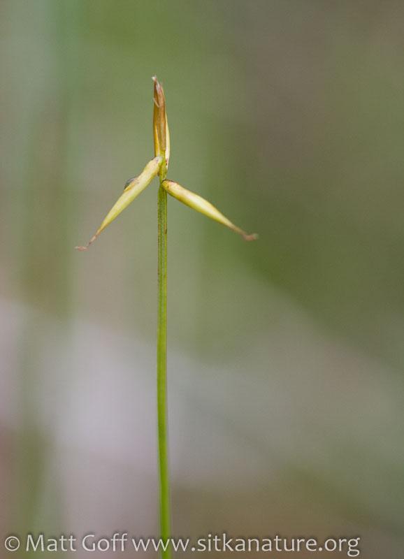 Few-flowered Sedge (Carex pauciflora)