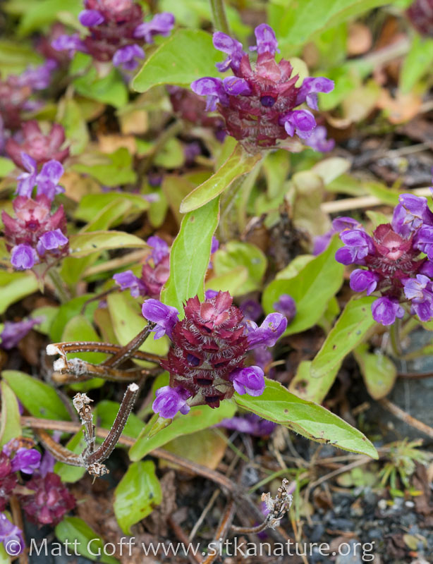 Self-heal (Prunella vulgaris)
