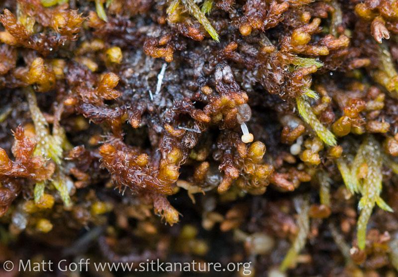 Pacific Fuzzwort (Ptilidium californicum)