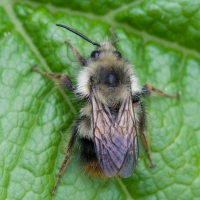 Bee (Bombus sp)