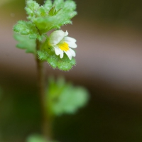 Subalpine Eyebright (Euphrasia mollis)