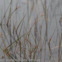 Moor Rush (Juncus stygius)