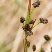 Heath Wood-rush (Luzula multiflora)
