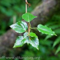 Cottonwood (Populus balsamifera)